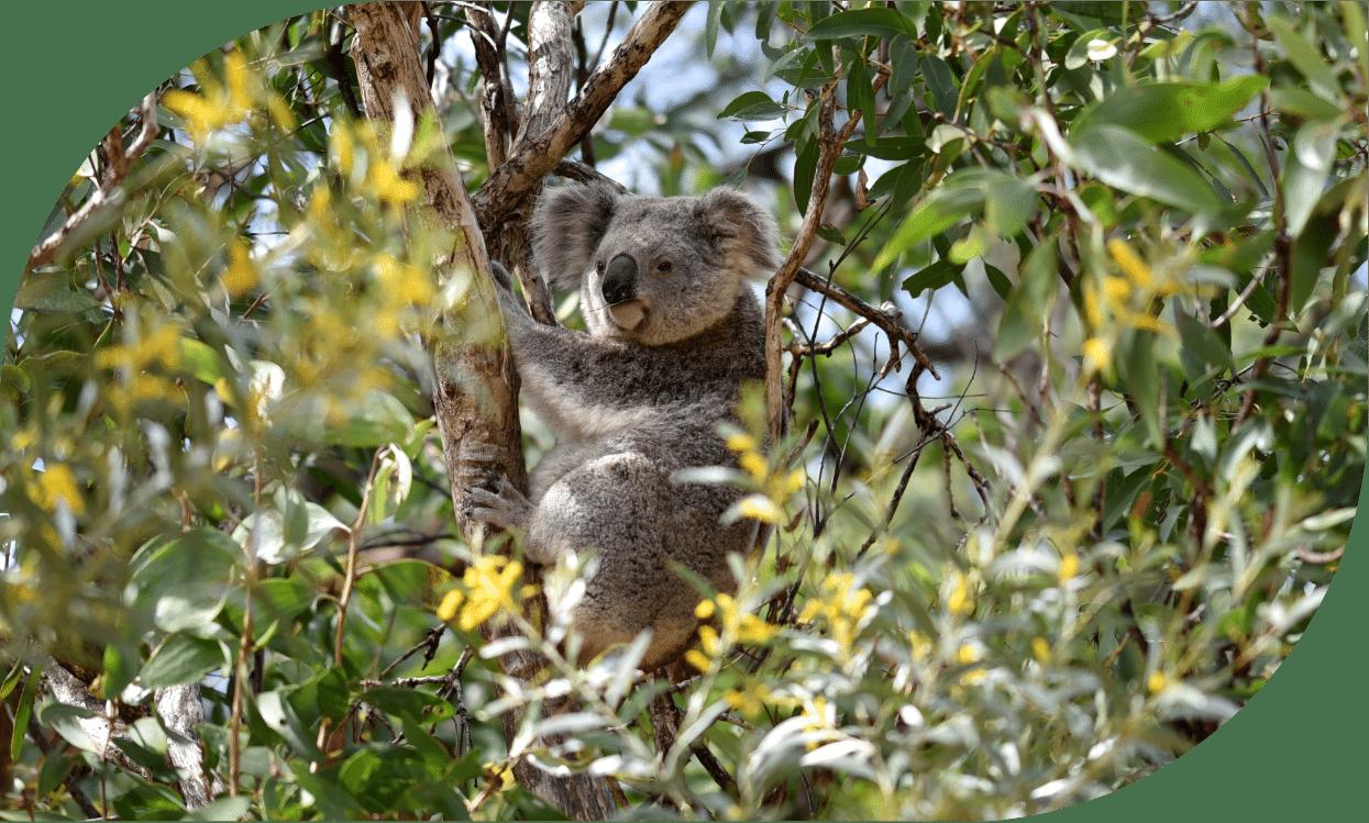 koala in tree in NSW