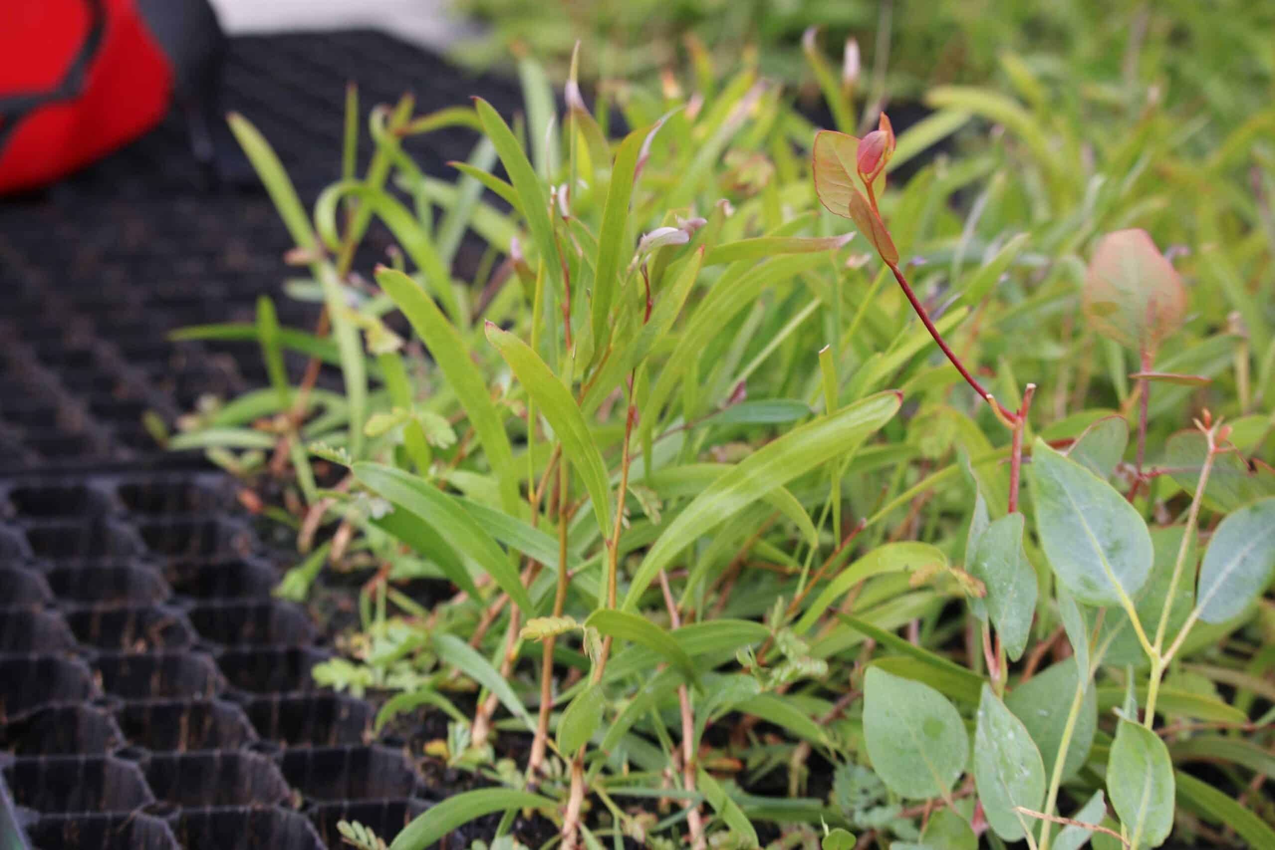 brookton_saltland_Noongar_Planting